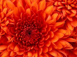 """Chrysanthemum 300x225 - Jungschwuppen Mittwochsclub am 05.04.2017: """"DiseasTER?!"""""""