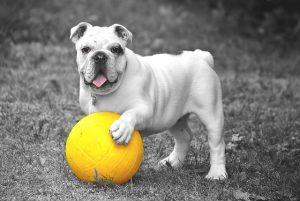 bulldog 601714 640 300x201 - Romeo und Julius am 31.03.: Spieleabend!