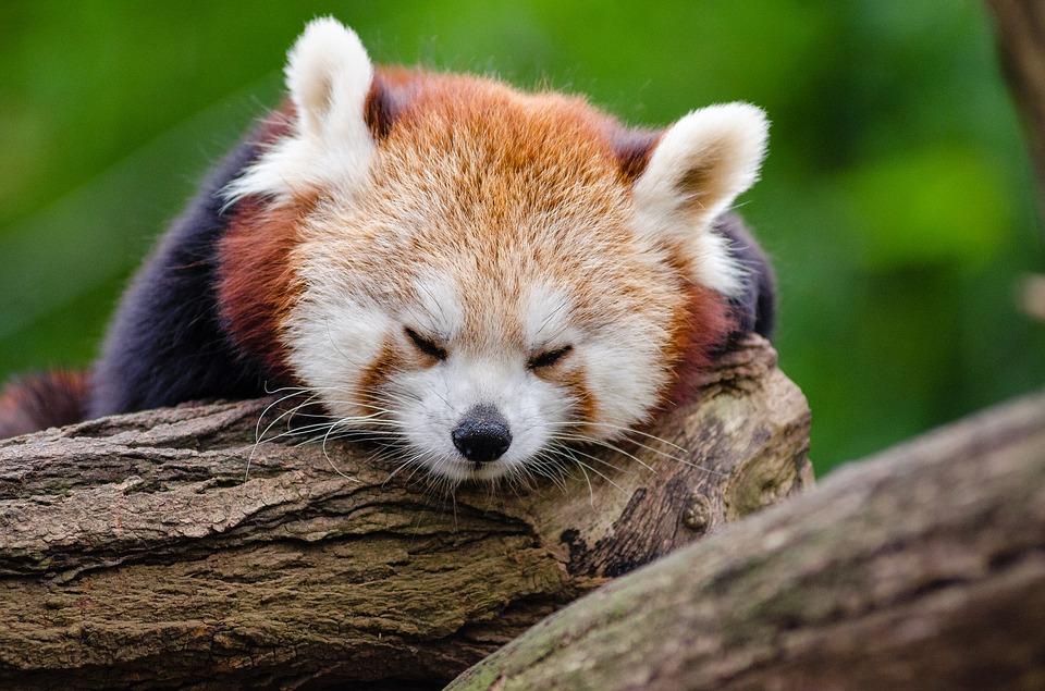 red panda 1194504 960 720 - Jungschwuppen Mittwochsclub am 25.April: Stress, Stress, Stress und eine kleine Pause!